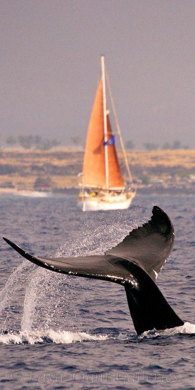 sailboat ocean life Whale Tale