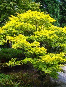 Golden Full Moon Japanese Maple #JapaneseGardenTheme #japanesemaple