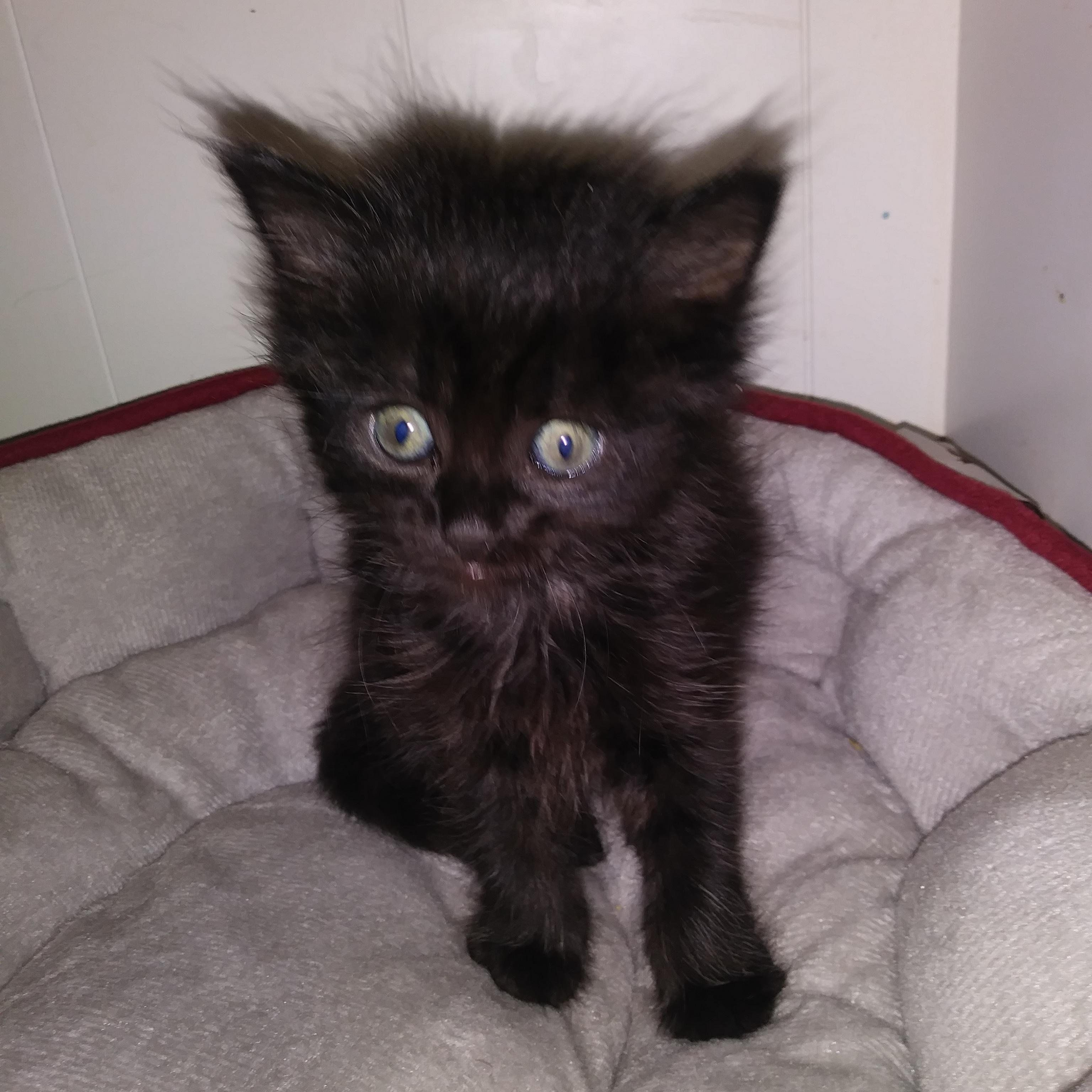 Does Anyone Know What Breed My Kitten Is Meow Moe Fluffy Cat Baby Kittens Kittens Cutest
