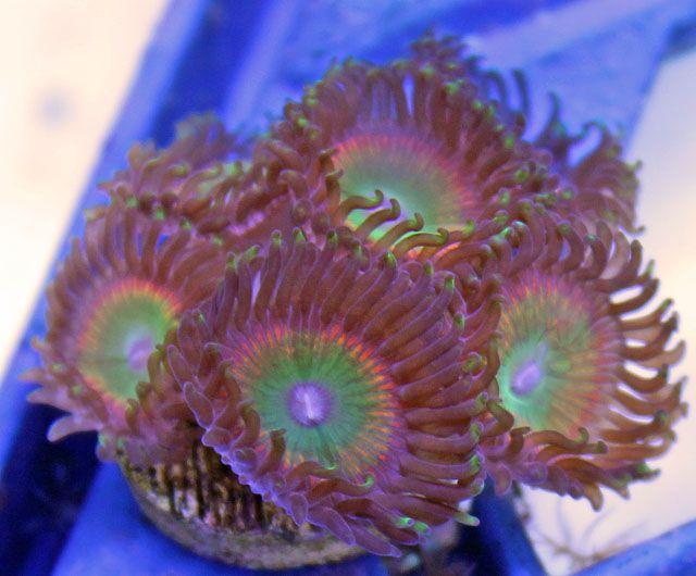 Collector Aquacultured Rainbow Paly Coral 6 Polyps Coral Livestock Polyp