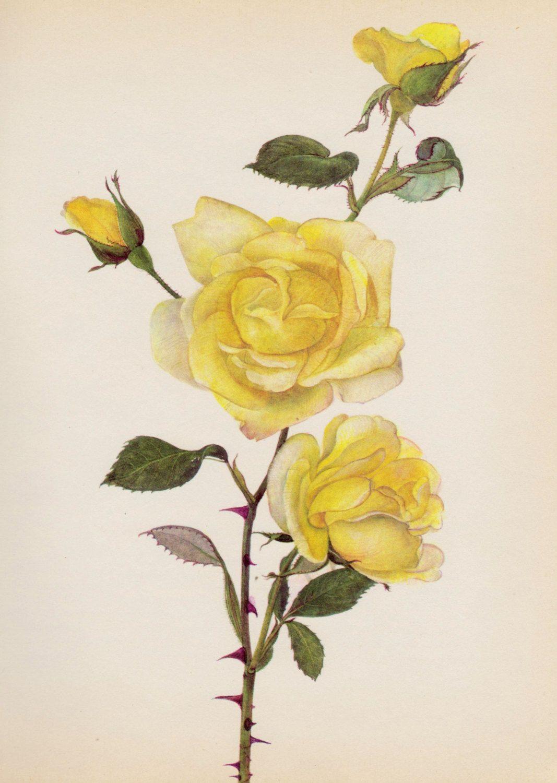 Botanical print rose illustration rose wall art by