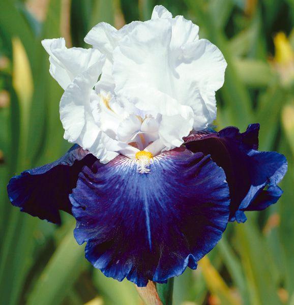 Iris 2 Bearded Bulbs Bonsai Perennial Impressive Resistant Stunning Reblooming