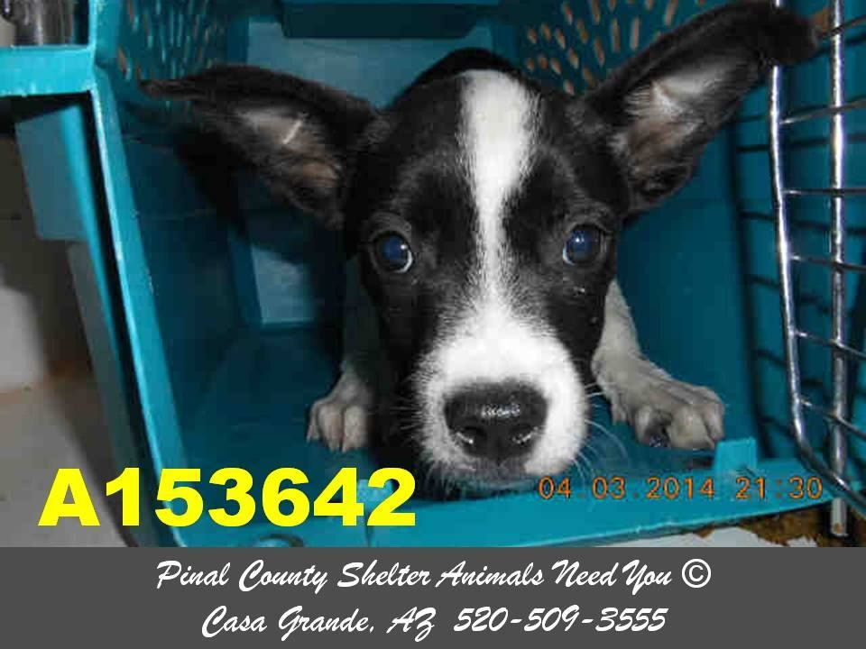 AT RISK -  This DOG - ID#A153642   I am a male, black and white Pit Bull Terrier.   The shelter staff think I am about 8 weeks old.   I have been at the shelter since Apr 03, 2014.   You can contact the shelter directly at:  Pinal County Animal Control  1150 S Eleven Mile Corner Rd  Casa Grande, AZ 85122  520-509-3555 https://www.facebook.com/photo.php?fbid=475944752507804&set=a.397881533647460.1073741849.120830141352602&type=3&theater
