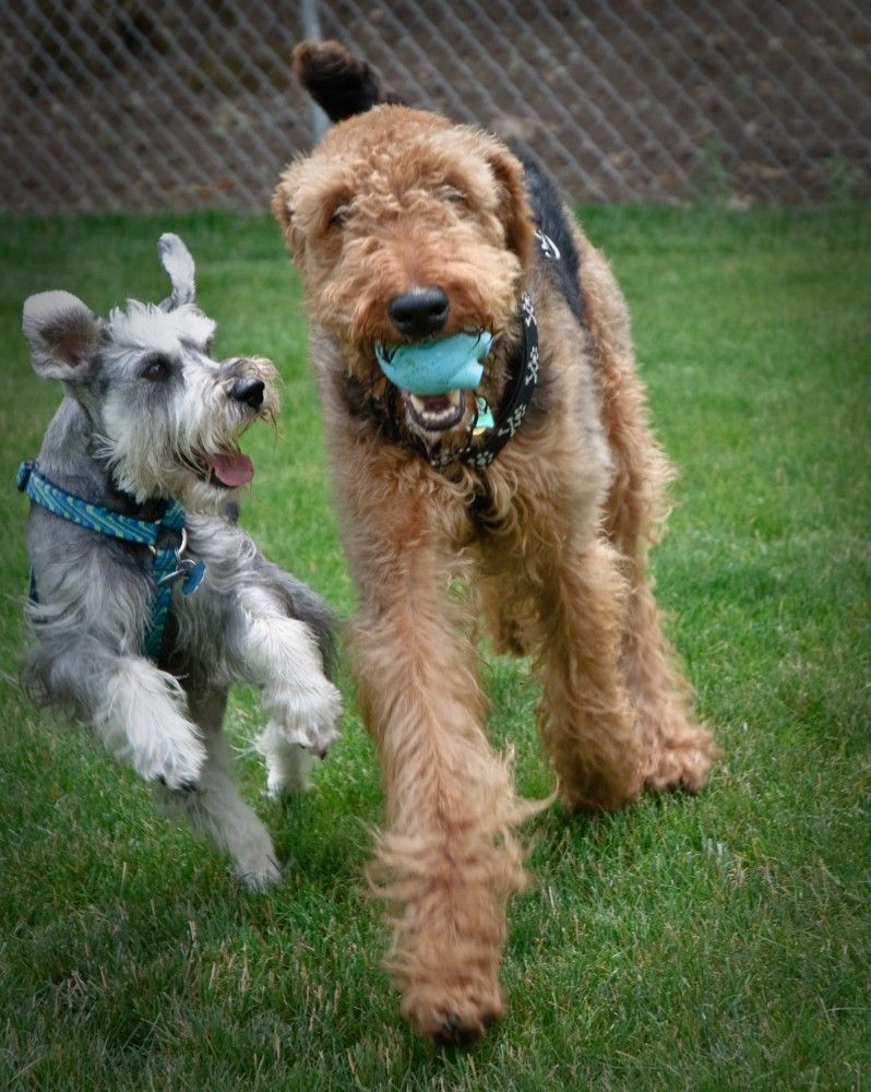 Dog Park Etiquette Rules To Help Dogs Get Along Airedale