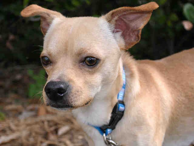 Petharbor Com Bentley Chihuahua Mix 3yrs M N Needs A Quiet