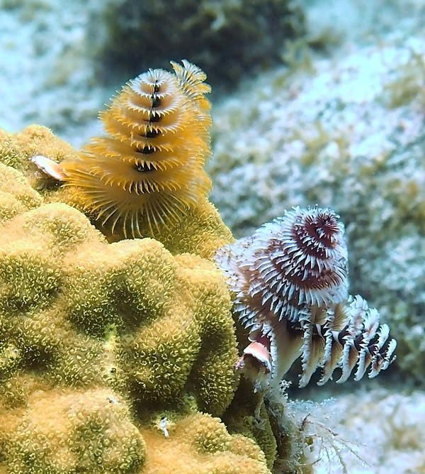 Colorful Pair Of Christmas Tree Worms By Amy Mcdaniel In 2020 Christmas Tree Tree Under The Sea