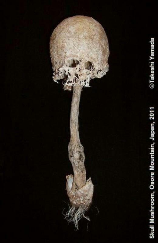 Skull mushroom in japan   http://ihorror.com/skull-shaped-mushrooms-grow-japans-fear-mountain/