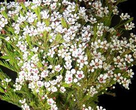 Wax flower white google search plants 15 pinterest wax wax flower white google search mightylinksfo Choice Image