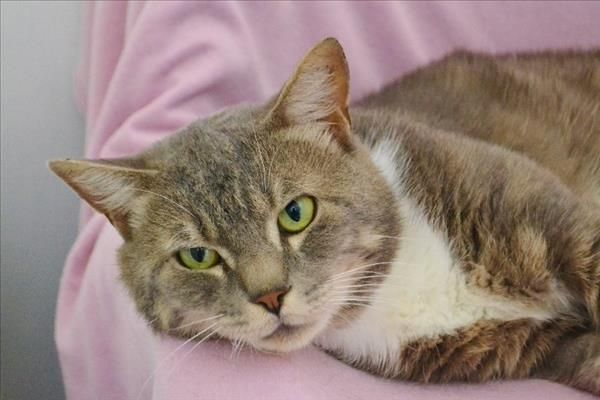 Hi I M Tom At The Gympie Rspca I M A Content Young Cat Who Would Like Lots Of Hugs And Cuddles I Would Absolut Hugs And Cuddles Furry Friend Animal Rescue