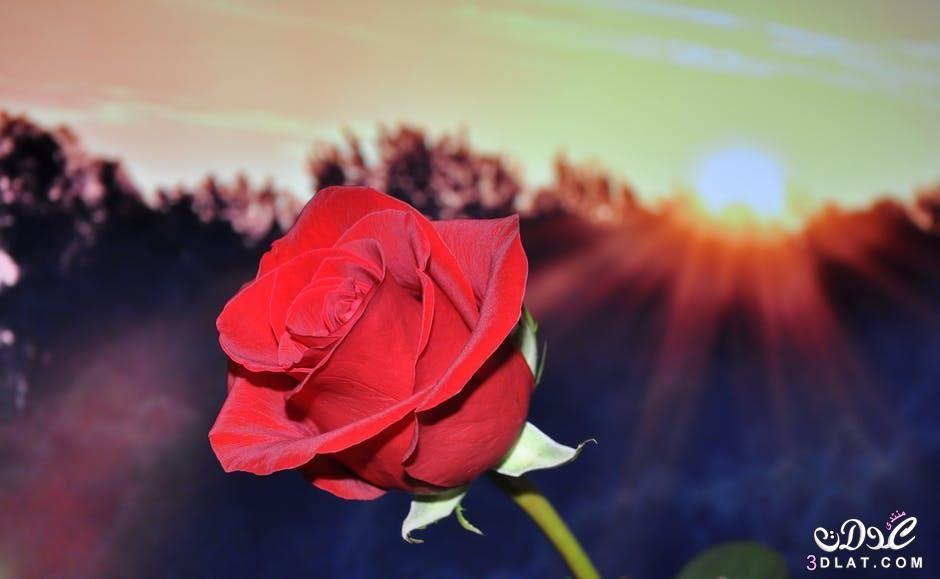 اروع باقات الزهور2018 صور وزهور جديدة2018 صور روعه 3dlat Net 06 17 B5e2 Birthday Wishes For Wife Rose Images Rose