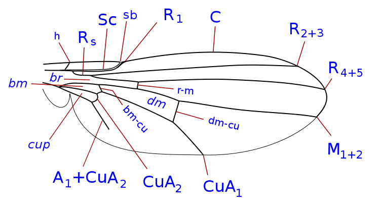 File:Clusiidae wing veins.svg - Wikimedia Commons