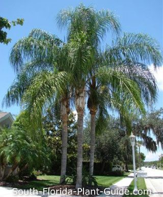 Pin By Broward Landscape On Plants For South Florida Palm Trees Landscaping Queen Palm Tree Landscape Trees