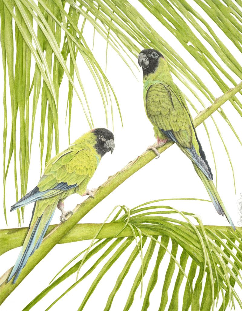 Nanday Conures/Fine Art Limited Edition Print/Pastel Drawings/Signed ...