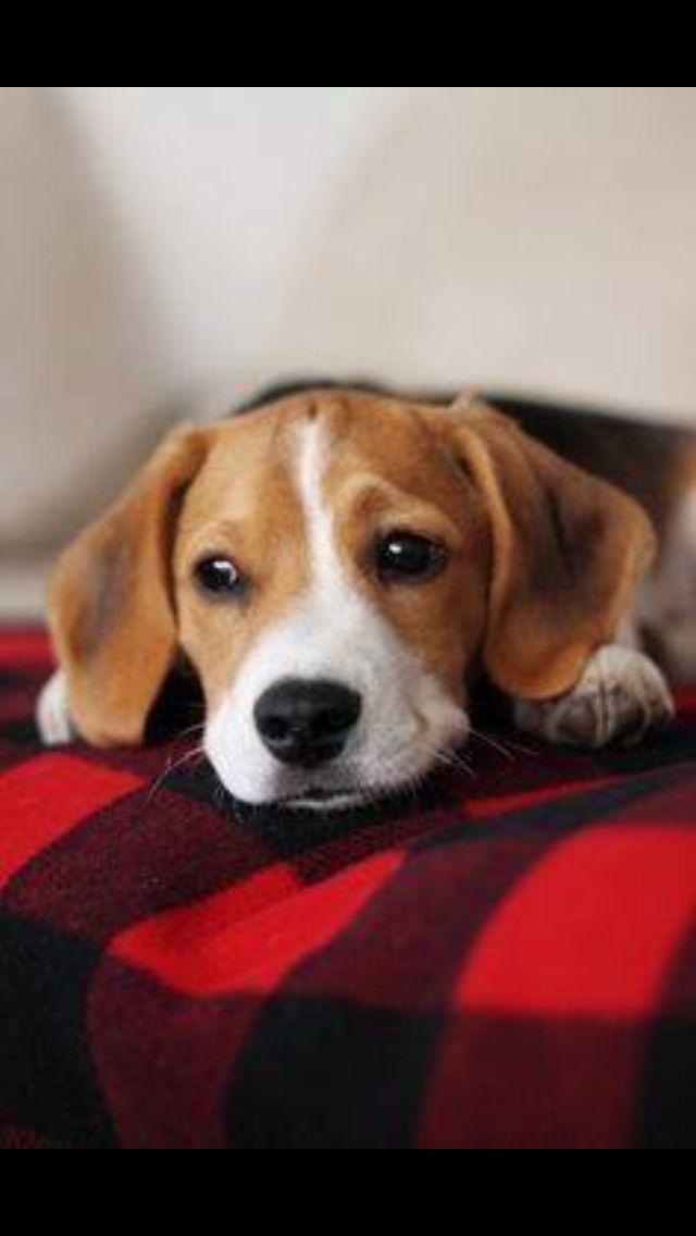 Beagle Babe Beagle Puppy Beagle Dog Beagle