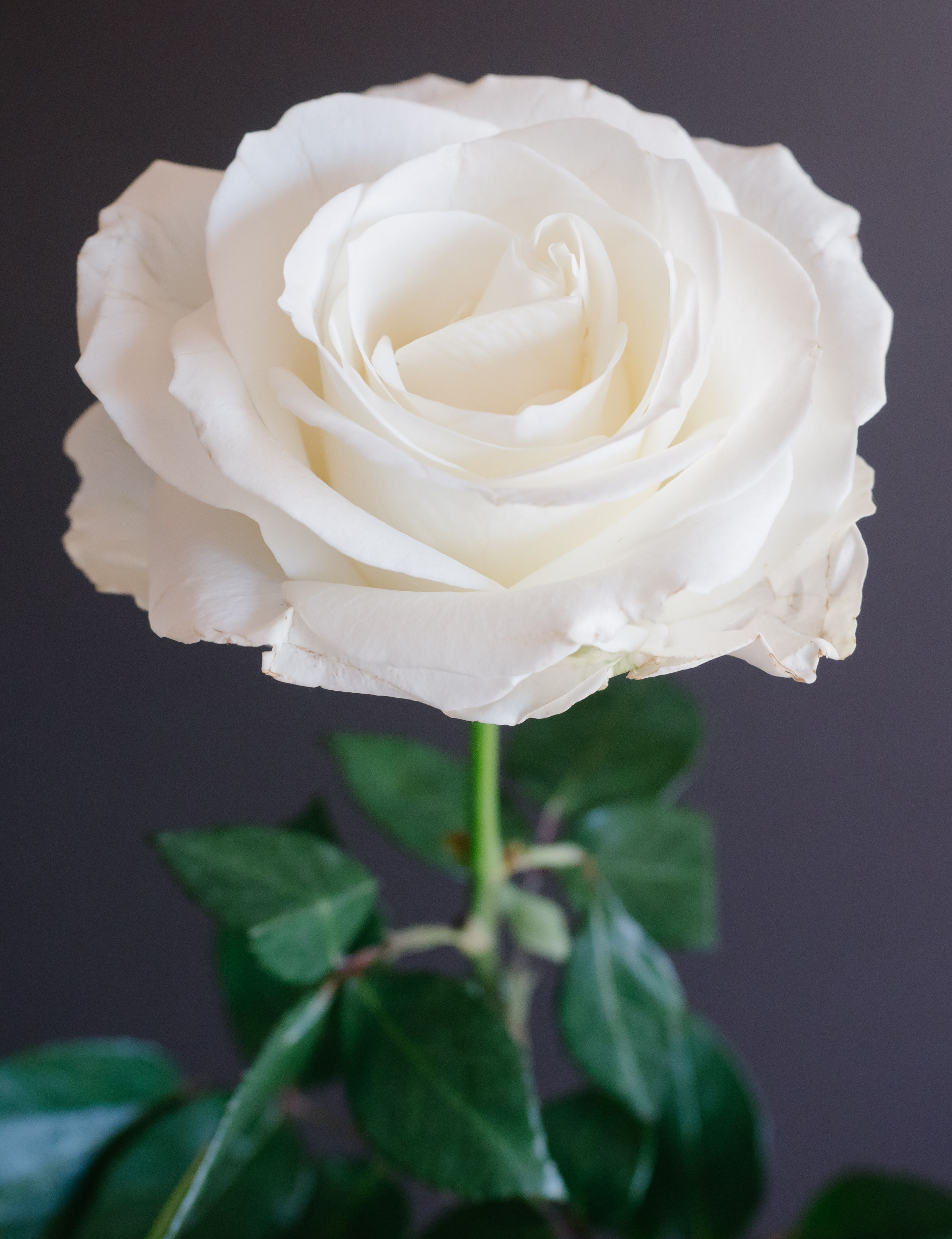 Playa Blanca Rose- these have a very large bloom size and look ...