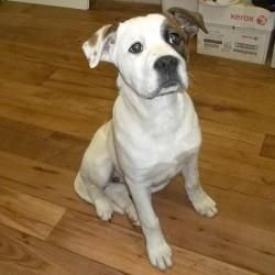 Adopt 13 D04 030 Taffy On Petfinder Bernard Dog American Bulldog Mix Saint Bernard