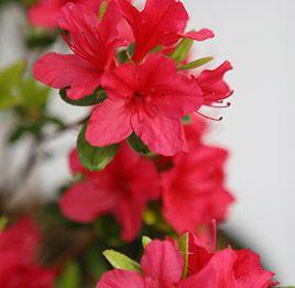 Red Crimson Azalea Amazing Flowers Flower Pictures Azaleas