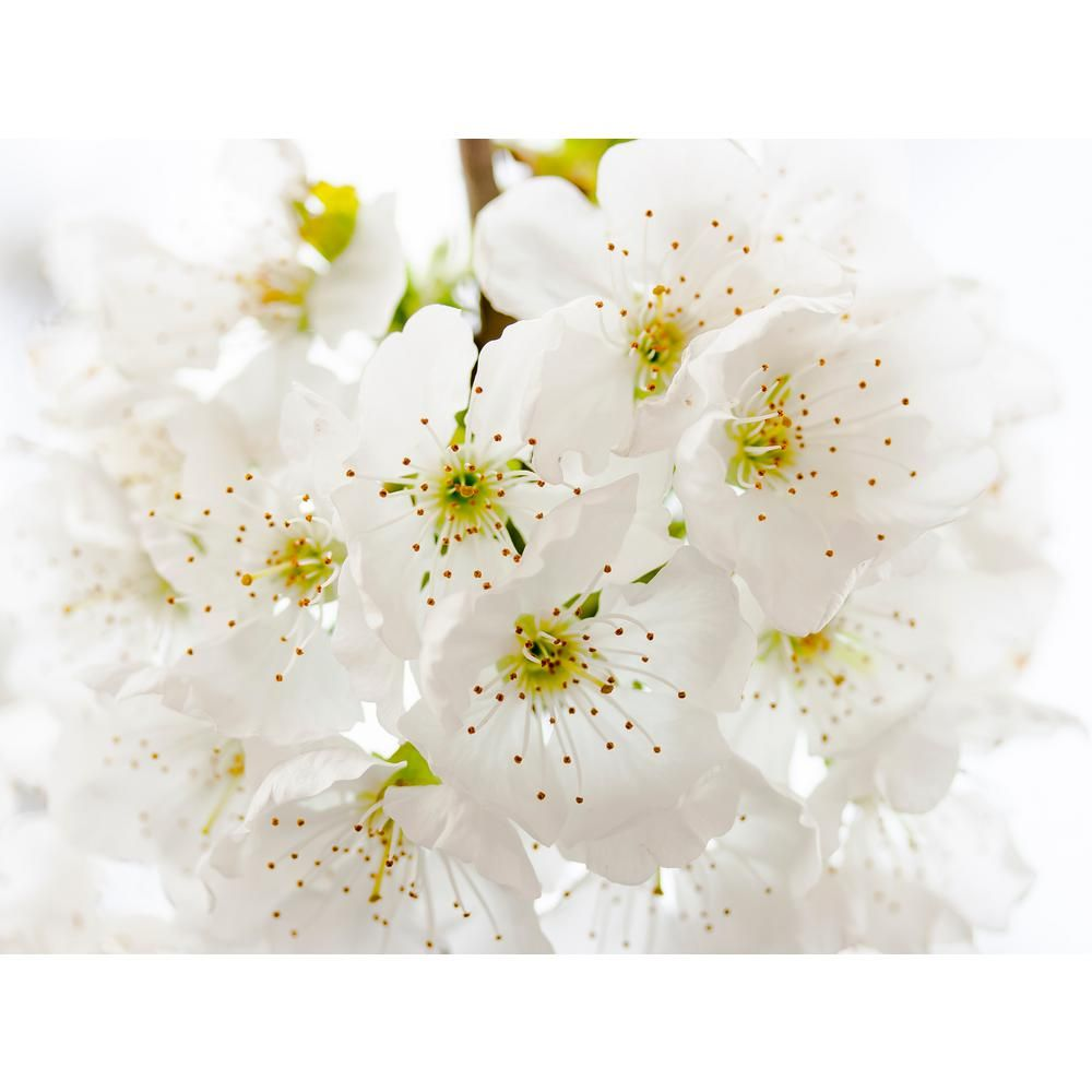 Online Orchards Yoshino Cherry Blossom Tree Bare Root Flch002 The Home Depot Cherry Blossom Flowers Cherry Blossom Tree Blossom Trees