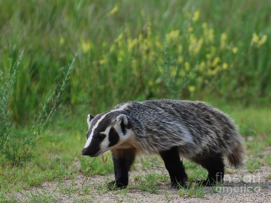 american badger canvas print canvas art by janelle streed