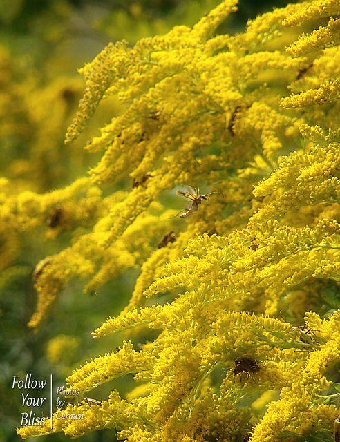 Goldenrod Kentucky State Flower Goldenrod Medicinal Plants