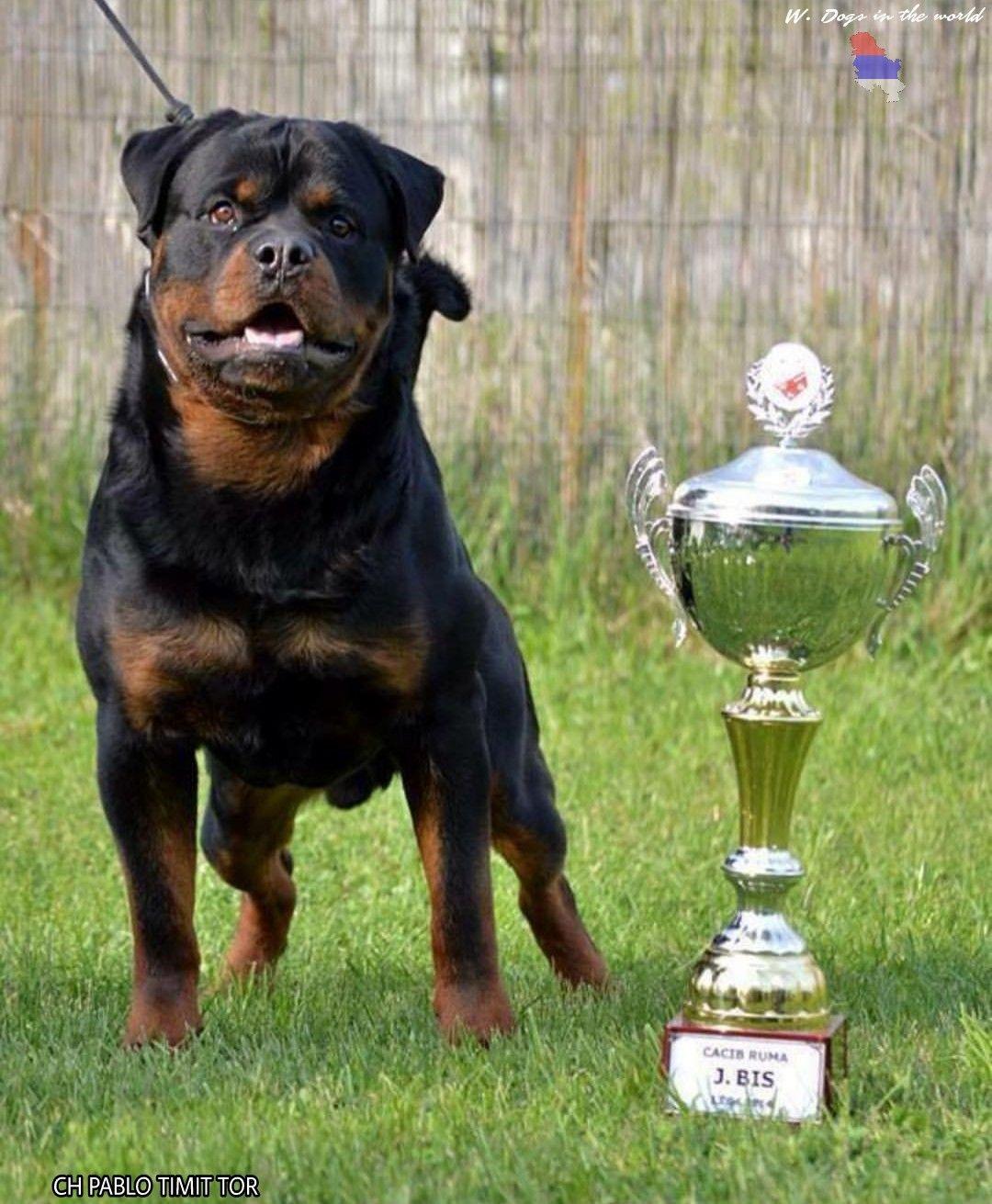 Rottweiler Supplements That Build Muscle Dog Breeds Rottweiler