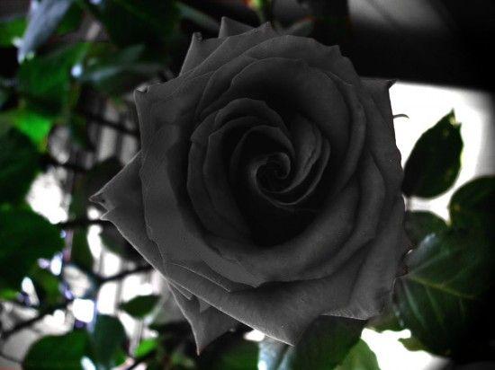 les mystérieuses fleurs noires : roses de halfeti | roses