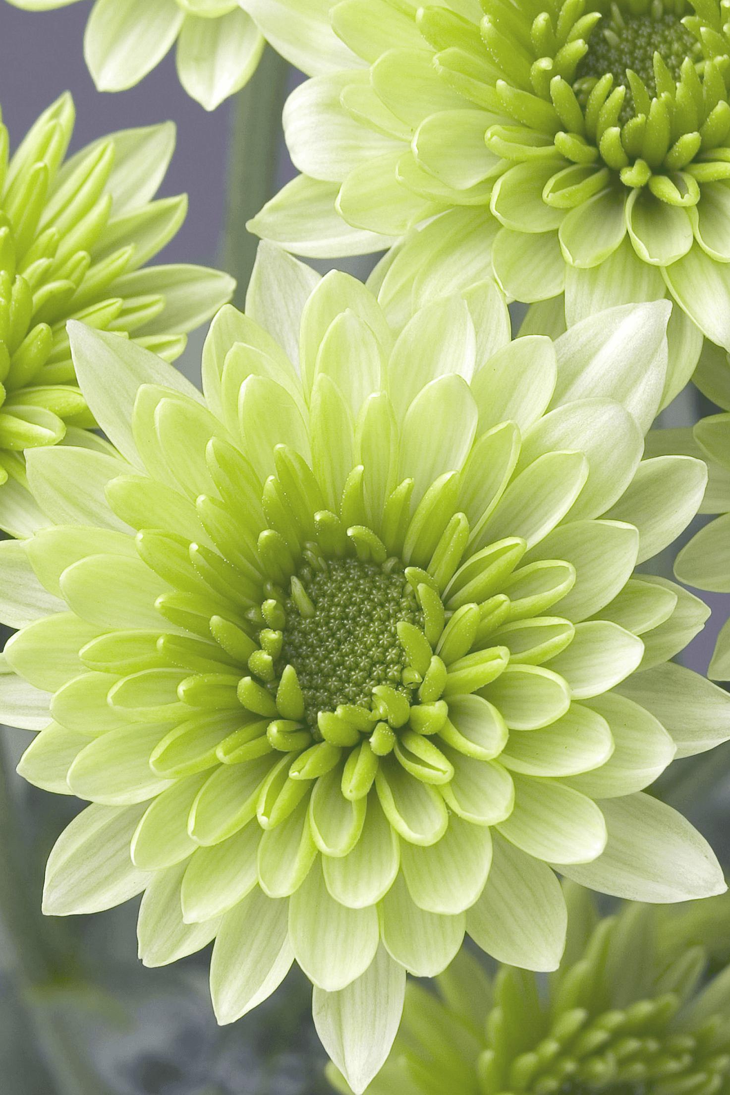 Chrysanthemum history Chrysanthemum Flower Pinterest