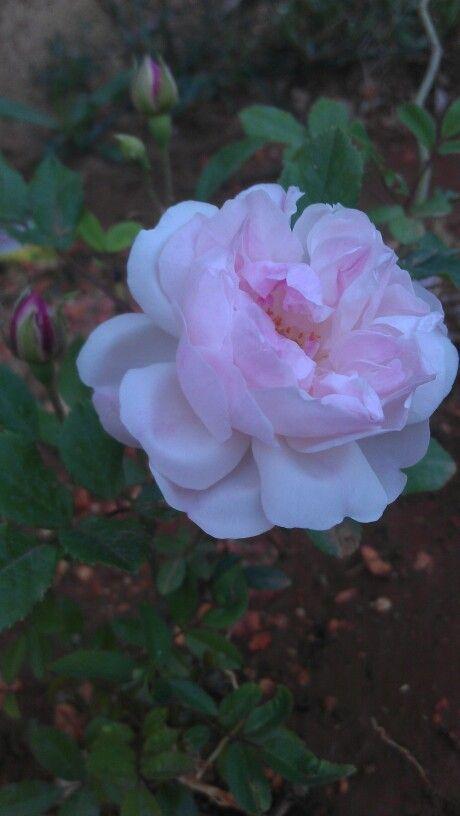وردبلدي جوري نفنوف ابيض Flowers Rose Plants
