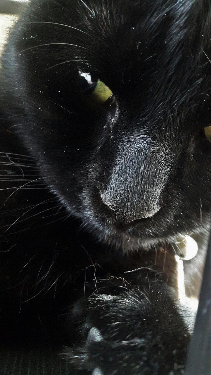 Sweet little Coffee the bombay cat
