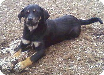 Ecco Is A German Shepard Labrador Retriever Mix Available For