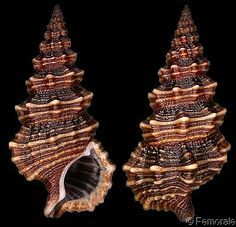 shells of the philippines - Google Search