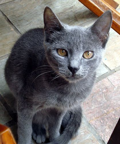 Russian Blue True Pure Russian Blue S Always Have Green Eyes Gold Eyes Are A Fault Kittens Can Have Gold Eyes But Th Russian Blue Cat Russian Blue Grey Cats