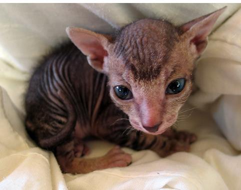 Sphynx Kitten Hairless Cat Cats And Kittens Kitten Pictures