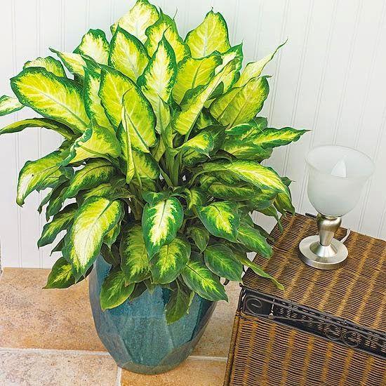 Plantas decorativas de interior venenosas for Planta decorativa toxica