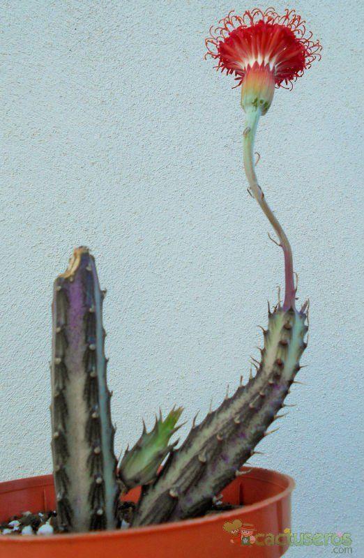 Kleinia stapeliiformis sinónimo: Senecio stapeliiformis                                                                                                                                                                                 Más
