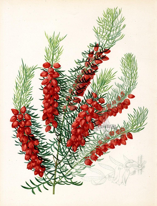 Boronia Elatior, Australia from Floral Prints by Joseph Paxton 1884