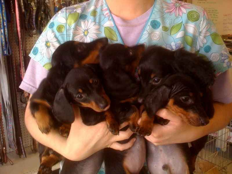 Image Detail for akc mini dachshund puppies for sale in