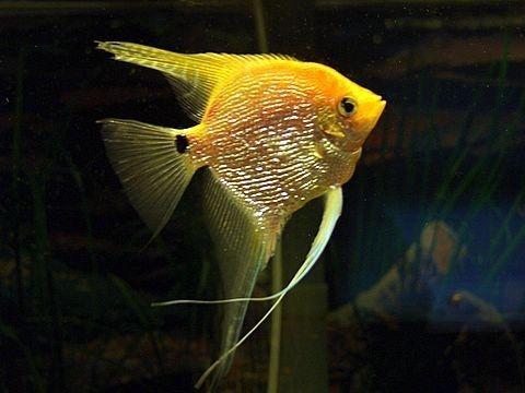 Gold Angelfish Google Search Angel Fish Fresh Water Fish Tank Aquarium Fish
