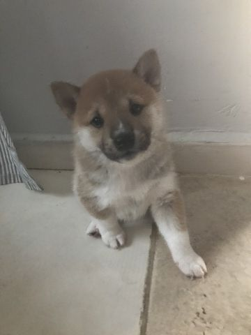 Litter Of 4 Shiba Inu Puppies For Sale In Miami Fl Adn 34491 On