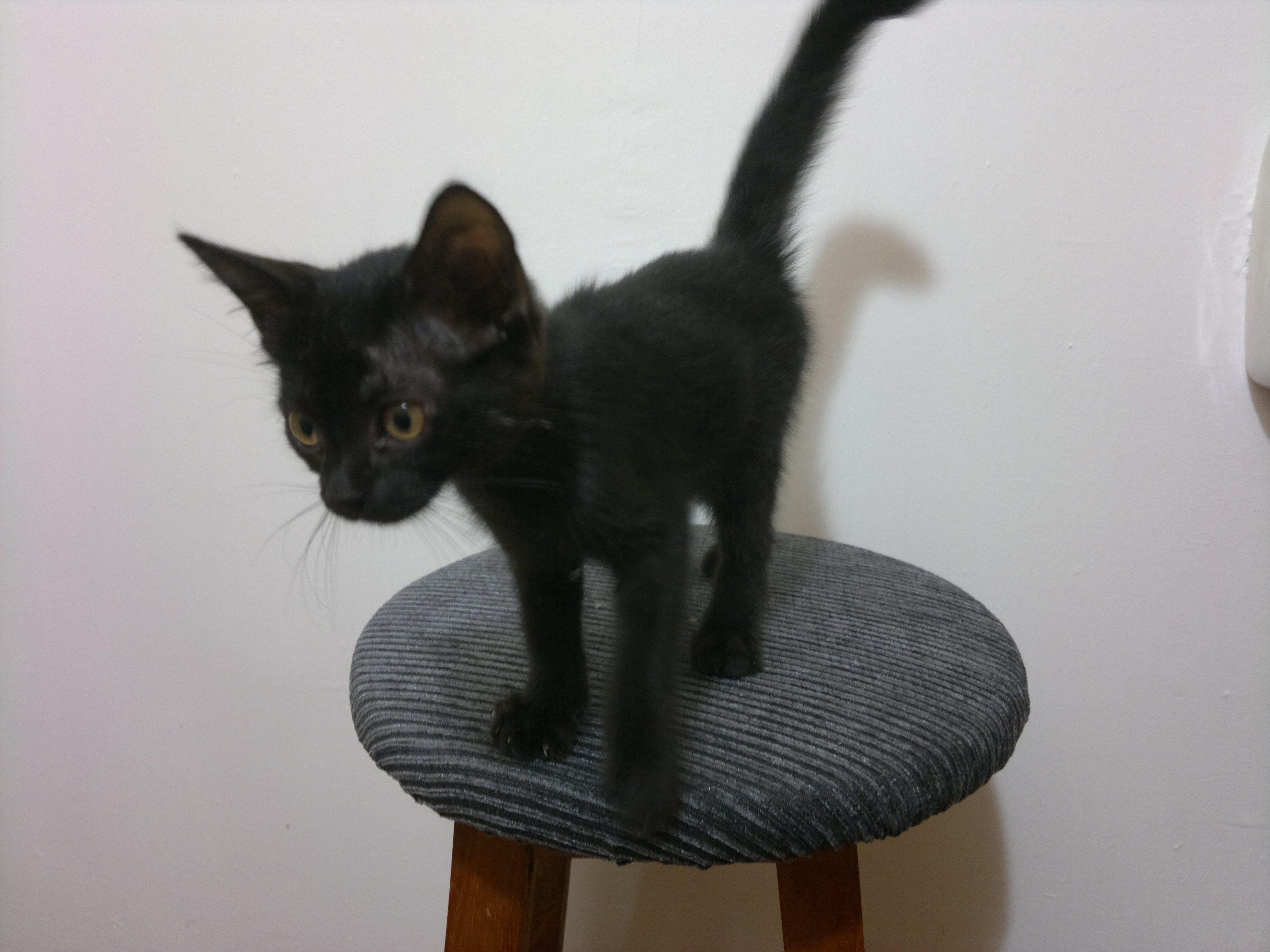 """""""Negrito"""" (""""Bombay"""") Mes y medio de rescatado. #Cat #Gato"""