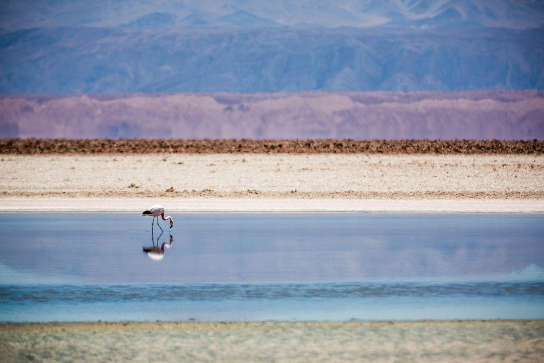 Laguna Chaxa Salar de Atacama bird desert lagoon reflection salt flat water wildlife Chile