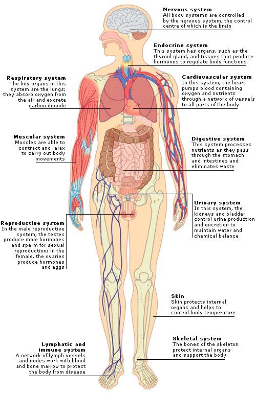 anatomy major organs - Google Search | 3-5th grade | Pinterest ...