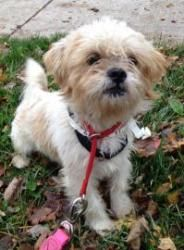 Roscoe Is An Adoptable Shih Tzu Dog In Rochester Ny Shih