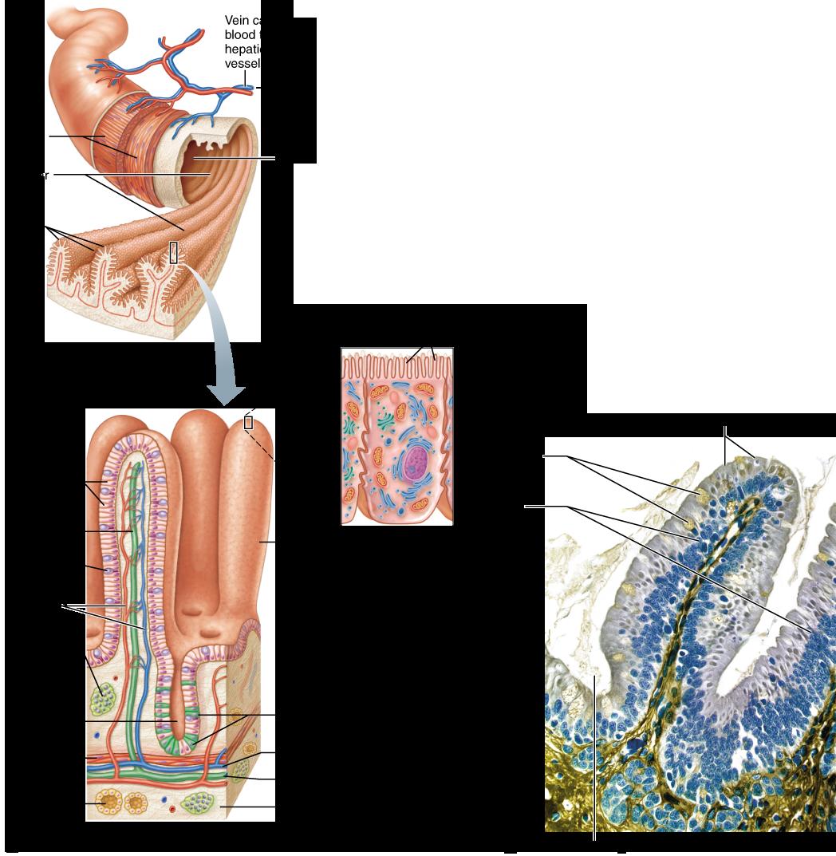 Anatomy of the Alimentary Canal | Anatomy | Pinterest | Anatomy