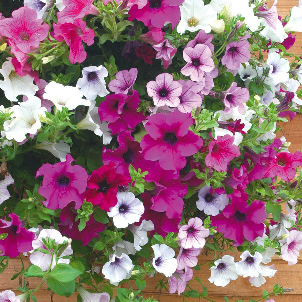Petunia Surfinia Mix Pre Planted Hanging Basket