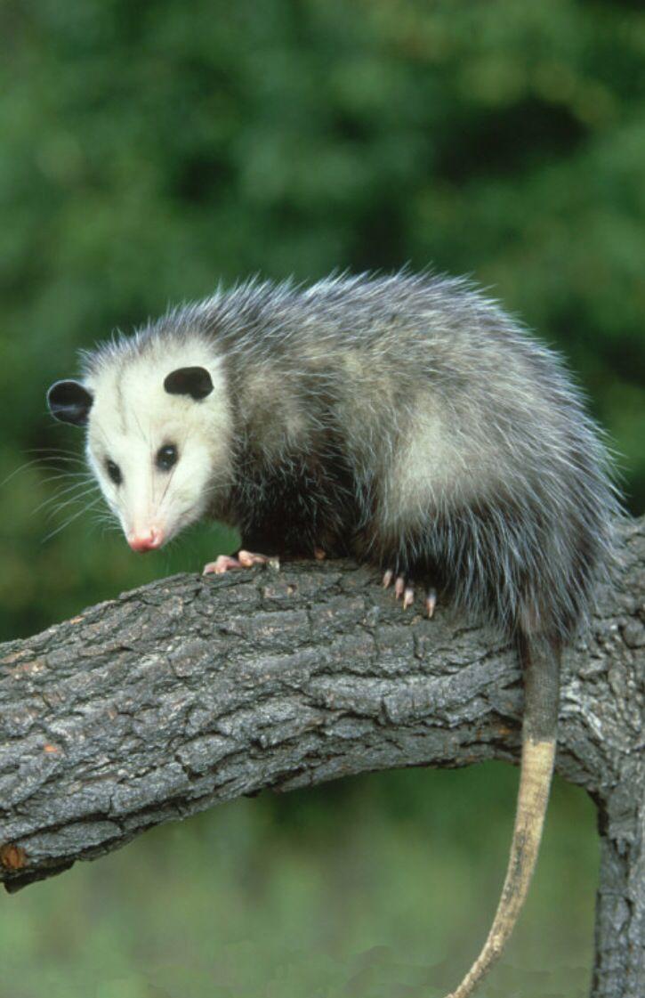Pin By Rebecca Behr On Opossums O Opossum Animals Wild Nocturnal Animals