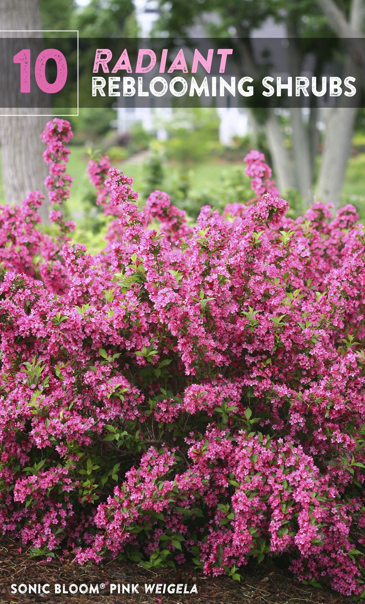 10 Radiant Reblooming Shrubs In 2020 Shrubs For Landscaping Landscaping Shrubs Hydrangea Landscaping