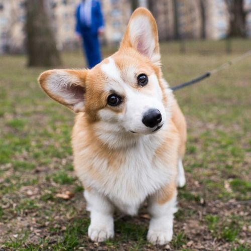 Hastings Pembroke Welsh Corgi 6 M O Central Park New York Ny