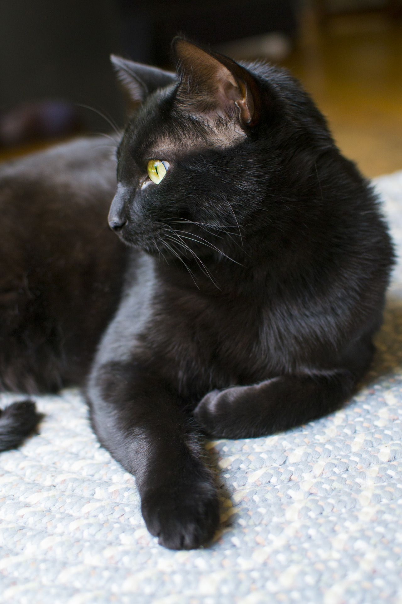 My Alfred Submitted By Coccyodynia Cats Black Cat Pretty Cats