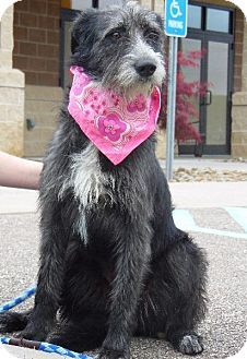 Wintersville Oh German Wirehaired Pointer Terrier Unknown Type Small Mix Meet Pyper A Dog For Adoption Http Www Ad Kitten Adoption Pets Dog Adoption